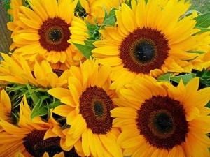 Sonnenblumen als kleiner Dank für alle (Foto: 3268zauber / Wikimedia Commons)